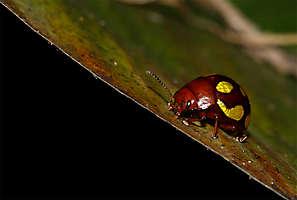 Coléoptère rouge et or