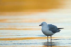 Mouette scopuline, NZ2014