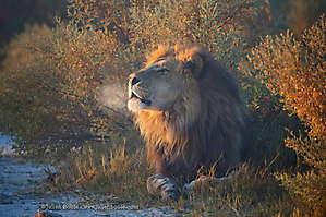 Lion fumeur