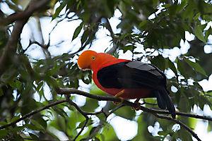 Coq-de-roche orange