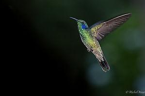 Colibri thalassin - Trogon lodge - Costa Rica