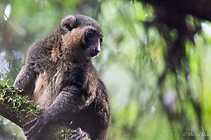 Lémurien doré - Parc Ramonafana - Madagascar
