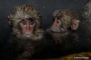 Macaque japonais (Macaca fuscata)