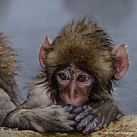 Macaque japonais - Macaca fuscata_18